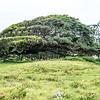 Very wind-blown tree on the way to Ka Lae, Hawaii