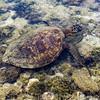 Green sea turtle, Pu'uhonua O Honaunau NHP, Hawaii