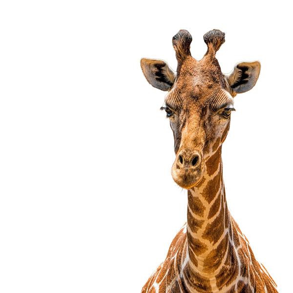 Safari West Giraffe