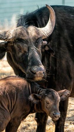 Safari West Cape Buffalo & Baby