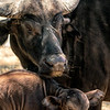 Safari West Cape Buffalo & Baby
