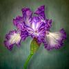 04-08-18 First Bearded Iris