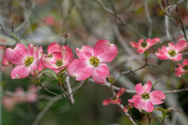 04-10-18 Dogwoods  in the Yard