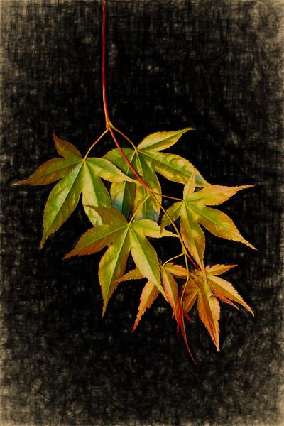 05-17-18 Maple Leaves