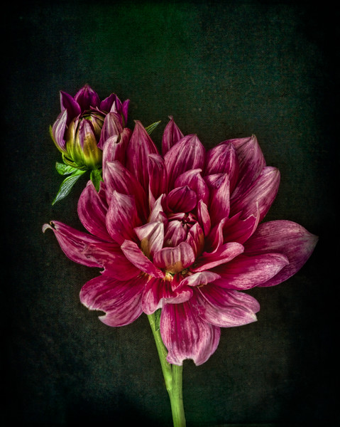 06-15-18 Pink Dahlia