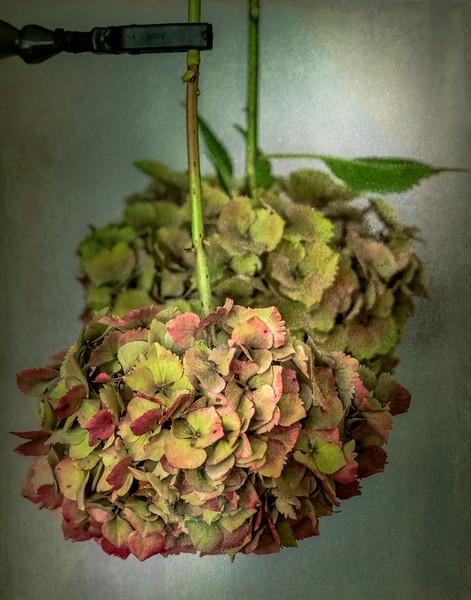 09-06-18 Drying Hydrangea's