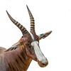Safari West Antelope