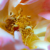 09-13-19 Lens Baby Rose