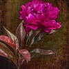 Painted Pink Peony