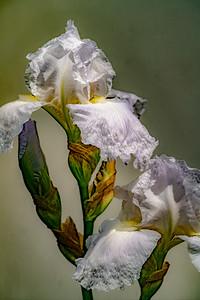 09-18-18 White Iris