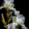 09-16-18 White Iris