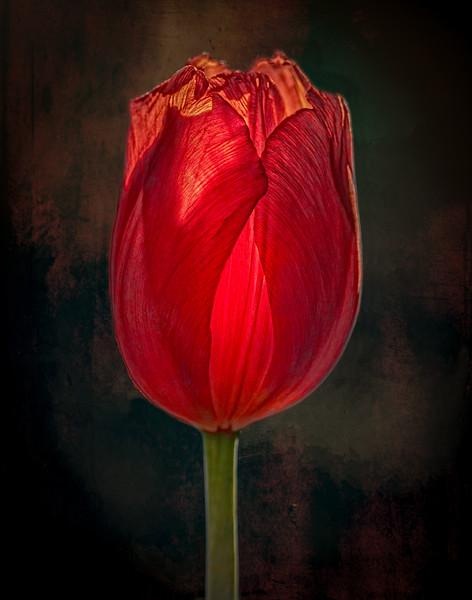 01-20-18 First Tulip