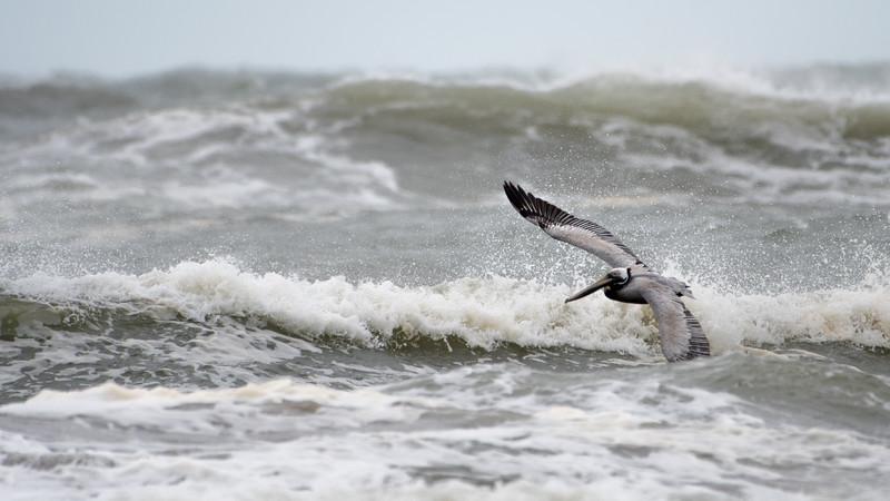 Brown Pelican in the Waves