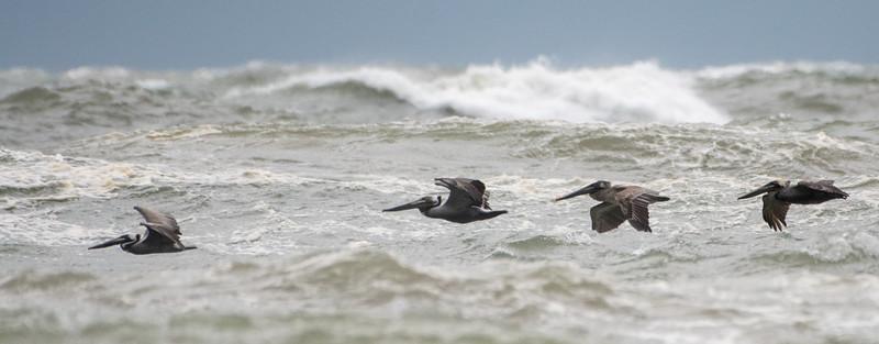 Brown Pelicans in Line