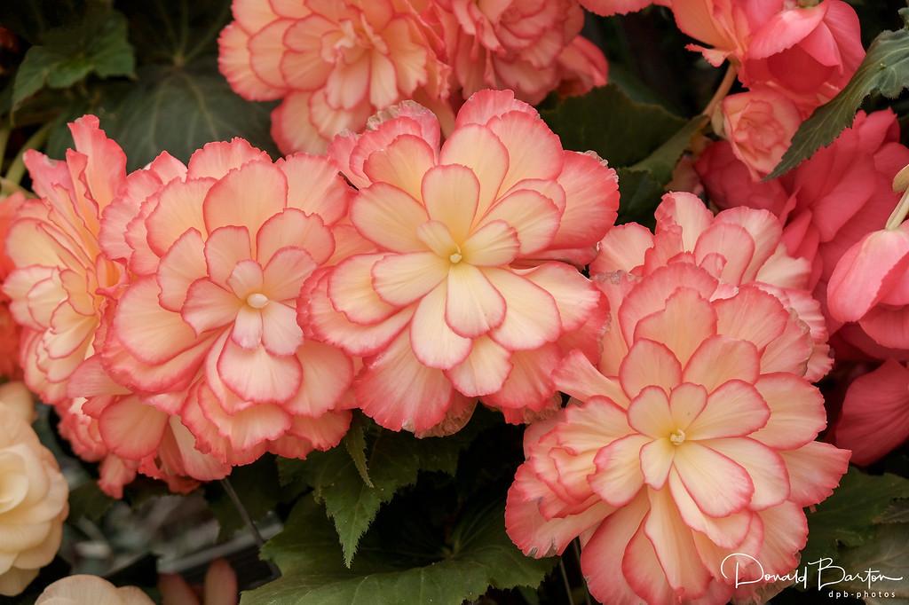 Begonia - image 3