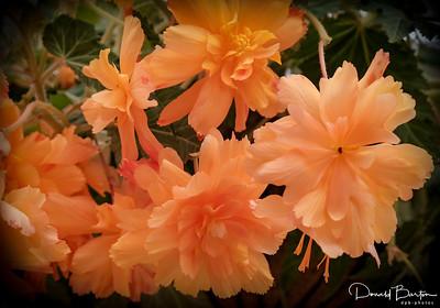 Begonia - image 4