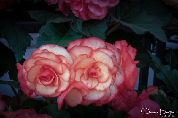 Begonia - image 1