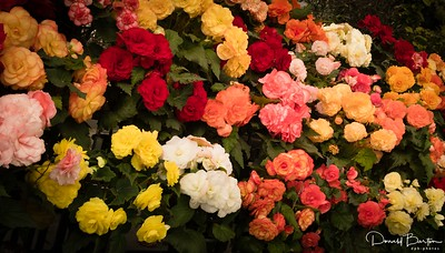 Begonia Display