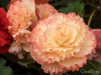 Begonia - image 2