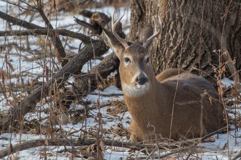 Resting buck again