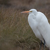 Great Egret trying to keep warm.