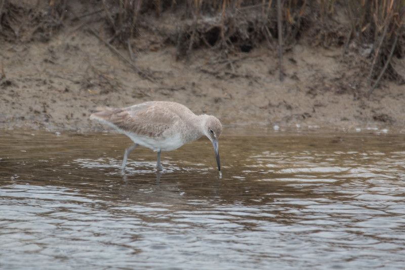 A willet, from the sandpiper family