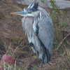 Blue heron trying to stay warm on a cold windy day