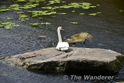 A Swan at Garrykennedy Harbour. Sun 17.06.18
