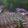Mockingbird and Long-billed Thrasher