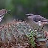 Mockingbird and Long-billed Thrasher