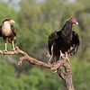 Turkey Vulture and Crested Caracara