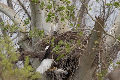 Bald Eagle, Eaglet, and Fish