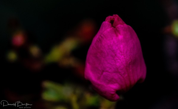 Autumn Rose Bud