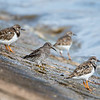 Purple Sandpiper and Ruddy Turnstones