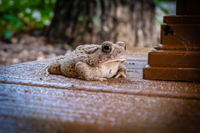 Tiny Texas Toad