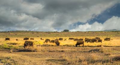 Caprock Bison Herd