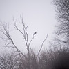 Wabash River Bottoms Southern Vigo County Foggy Morning Eagles and Lone Tree