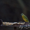 This little angel is one of many that frequent my backyard.<br /> Female Painted Bunting<br /> South West Florida