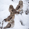 Four Short Eared Owls in Snow