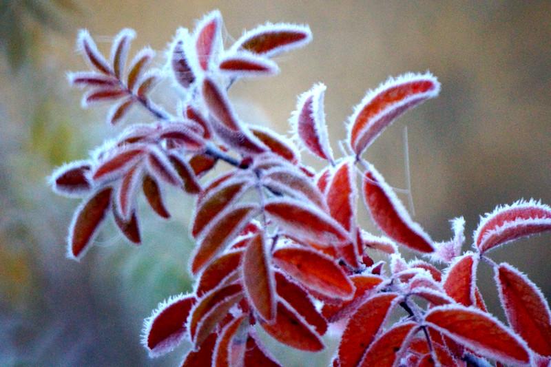 Frosty Plant
