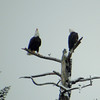 Two Bald Eagles Talking