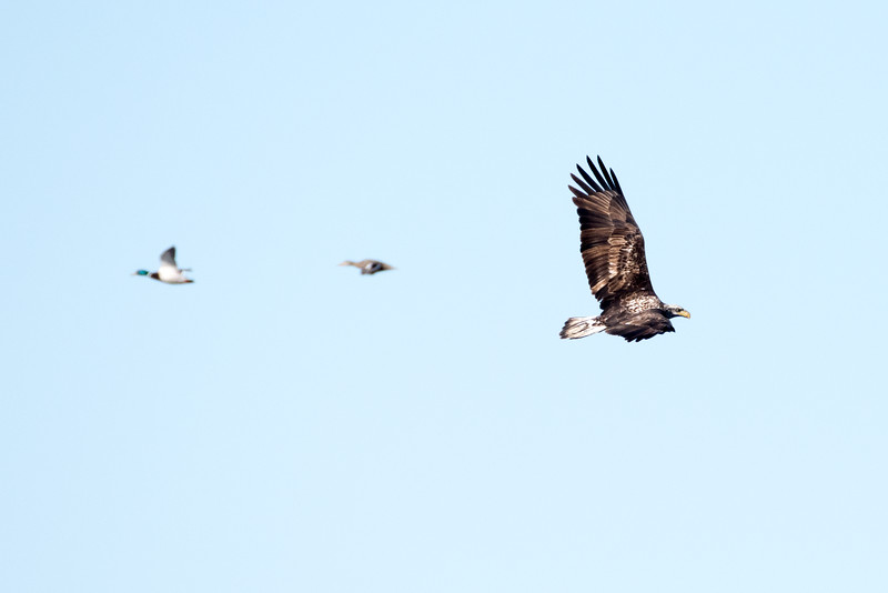 Bald Eagle with Ducks at Goosepond FWA