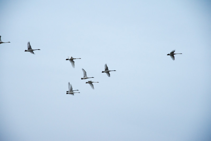 Waterfowl over Universal, IN