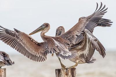 Pelican Rumba