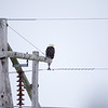 Bald Eagle On Utility Pole Southern Vigo County Winter
