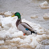 Duck Mallard Icy Wabash River