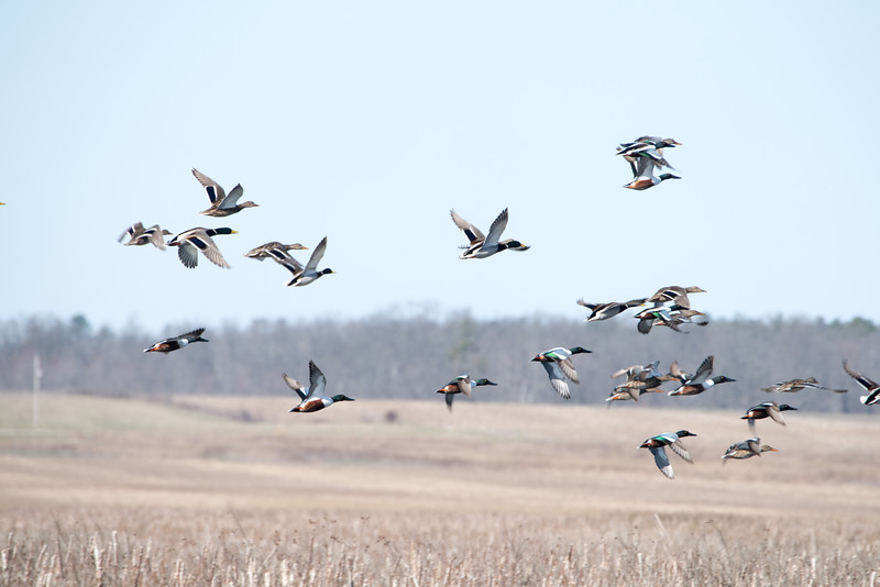Harriers, Birds,  Ducks at Goosepond FWA