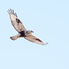 Harriers, Birds,  Ducks at Goosepond FWA