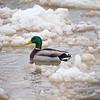 Duck Mallard Icy Wabash River
