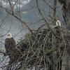 Bald Eagles Checking out their nest
